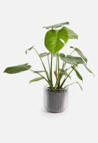 Sixth Floor - Willa planter