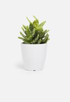 H&S - Cereus mini potted cactus